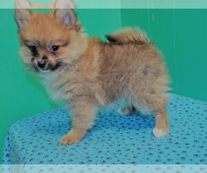 Pomeranian Puppy for sale in PATERSON, NJ, USA