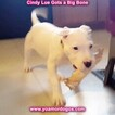 Small Photo #141 Dogo Argentino Puppy For Sale in PINEVILLE, MO, USA