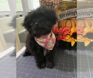 Shiranian Puppy for sale in MOUNT CLEMENS, MI, USA
