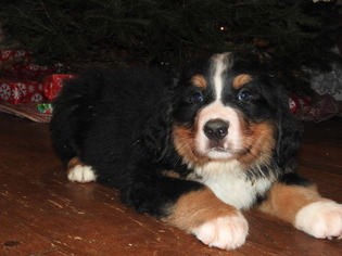 Bernese Mountain Dog Puppy For Sale in GAP, PA, USA