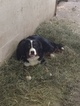 Bernese Mountain Dog Puppy For Sale in LEO, IN, USA