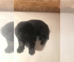 Puppy 3 Malinois
