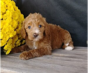 Labradoodle-Poodle (Miniature) Mix Dog for Adoption in FREDERICKSBG, Ohio USA