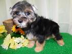 Havashire Puppy For Sale in HAMMOND, IN, USA
