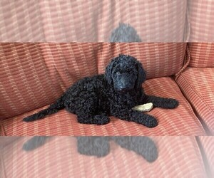 Poodle (Standard) Puppy for Sale in FISHERS, Indiana USA