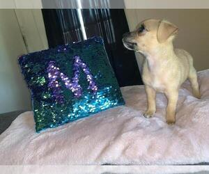 Chihuahua Puppy for sale in LANSING, MI, USA