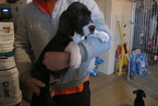 Great Dane Puppy For Sale in RENO, NV,
