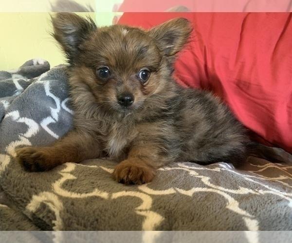 Medium Photo #12 Pomeranian Puppy For Sale in KEAAU, HI, USA