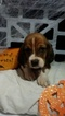 Basset Hound Puppy For Sale in DURHAM, NC