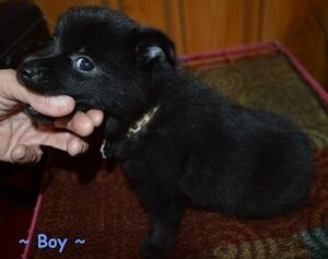 Schipperke Puppies For Sale In Usa Page 1 10 Per Page