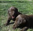Labrador Retriever Puppy For Sale in MORENO VALLEY, California,
