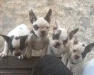 French Bulldog Puppy For Sale in SHOW LOW, AZ, USA