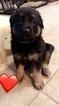 German Shepherd Dog Puppy For Sale in MEMPHIS, TN