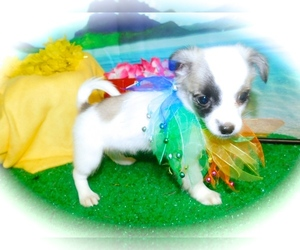 Havanese Puppy for sale in HAMMOND, IN, USA