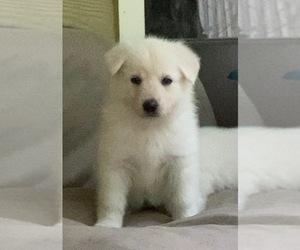 German Shepherd Dog Puppy for sale in ZEBULON, NC, USA