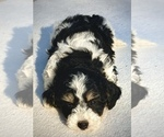 Small Photo #3 Bernedoodle Puppy For Sale in CHATHAM, PA, USA