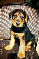 Airedale Terrier Puppy For Sale in STILLWATER, MN, USA