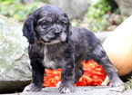 Cocker Spaniel Puppy For Sale in MOUNT JOY, PA,