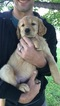 Goldendoodle Puppy For Sale in CEDAR, MN
