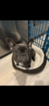 French Bulldog Puppy For Sale in OSTEEN, FL, USA