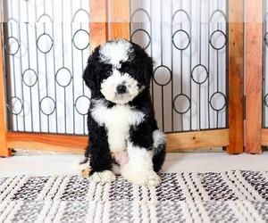 Sheepadoodle Dog for Adoption in NAPLES, Florida USA