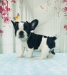 French Bulldog Puppy For Sale in CRANSTON, Rhode Island,
