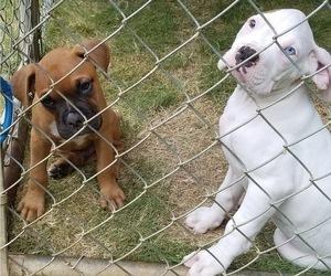 Boxer Puppy for sale in BARRETT PARKWAY, GA, USA