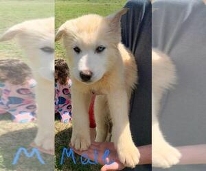 Siberian Husky Puppy for Sale in COLBERT, Georgia USA