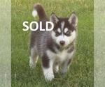 Puppy 2 Wolf Hybrid