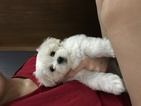 Maltese Puppy For Sale in MUSCATINE, IA