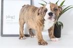 English Bulldog Puppy For Sale in NAPLES, FL, USA