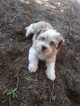 Male Havanese puppy 13 weeks old