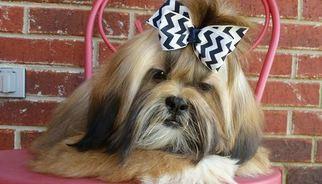 Shih Tzu Puppy for sale in FERRIDAY, LA, USA