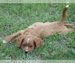 Small #3 Cavalier King Charles Spaniel-Poodle (Standard) Mix