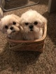 Family Raised ShihTzus