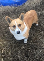 Pembroke Welsh Corgi Puppy For Sale in RAMONA, OK, USA