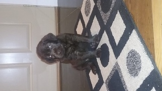 Labradoodle Puppy For Sale in DYERSVILLE, IA, USA