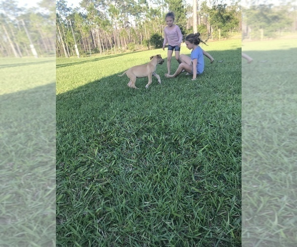 Medium Photo #5 Great Dane Puppy For Sale in LAKE WALES, FL, USA