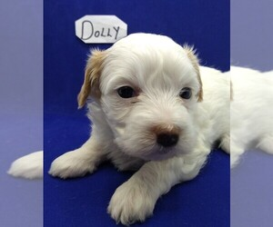 Maltese-Poodle (Toy) Mix Puppy for Sale in NASHVILLE, North Carolina USA