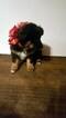 Australian Shepherd Puppy For Sale in BERTHOUD, CO, USA