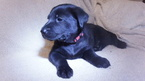 Chow Chow-Labrador Retriever Mix Puppy For Sale in LAKEWOOD, OH, USA