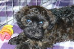 Poodle (Toy)-Yorkshire Terrier Mix Puppy For Sale in TUCSON, AZ