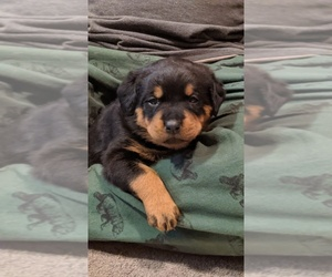 Rottweiler Puppy for sale in HAGERSTOWN, MD, USA