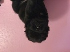 Chinese Shar-Pei Puppy For Sale in ARLINGTON, TX, USA