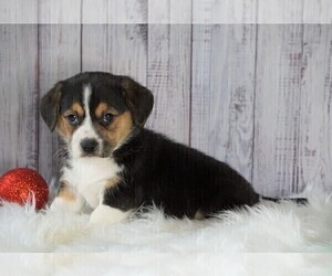 Beagi Puppy for sale in FREDERICKSBG, OH, USA