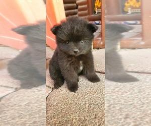 Pomeranian Puppy for sale in SAN ANTONIO, TX, USA