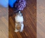 Small #4 Pekingese