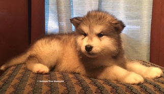 Alaskan Malamute Puppy For Sale in COURTLAND, VA