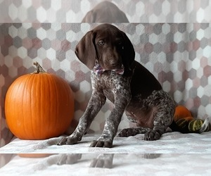German Shorthaired Pointer Puppy for sale in LANCASTER, PA, USA