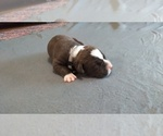 Puppy 10 American Pit Bull Terrier